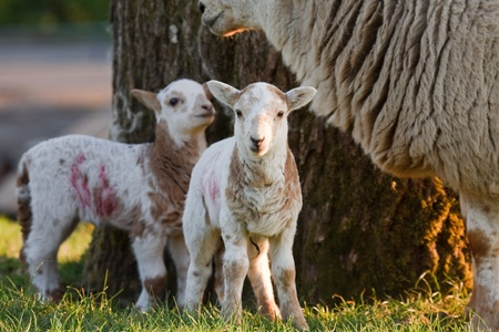 stood up: Young lambs with their mother in a field