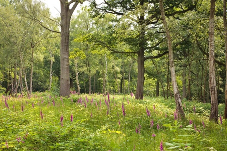 Lush green glade with wild flowers in a woodland scene photo