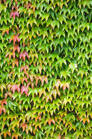 Closeup of lush green ivy covering a wall photo