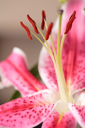 Stargazer lily closeup of a flowerhead against a neutral background photo