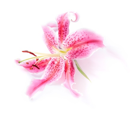 Pink stargazer lily flower head on a white background with a subtle shadow effect. Stock Photo