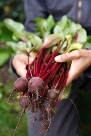 allotment: Female gardener holding home grown beetroot freshly picked from the garden Stock Photo
