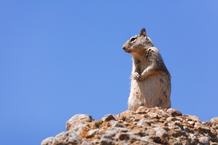 Western grey squirrel in the wild against a blue sky Stock Photo - 12963043