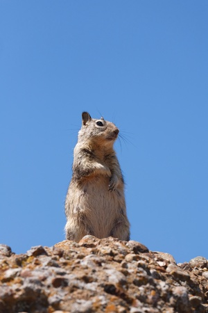 Western gray squirrel in the wild against a blue sky Stock Photo - 12963042