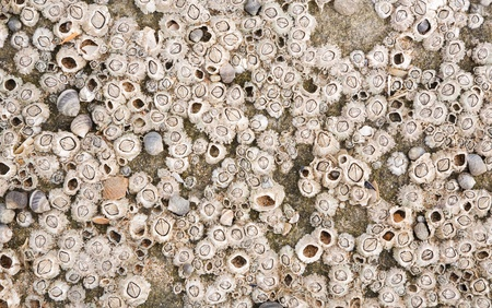 Barnacles at the beach on a rock, ideal for a marine texture or background photo