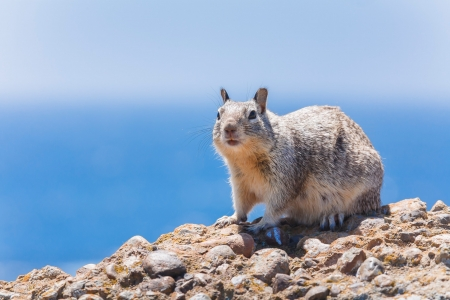 Western gray squirrel in the wild against a blue sky Stock Photo - 14288962