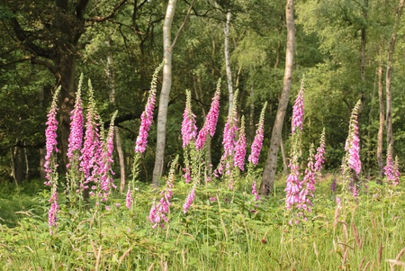 Wild foxglove flowers in a forest clearing photo