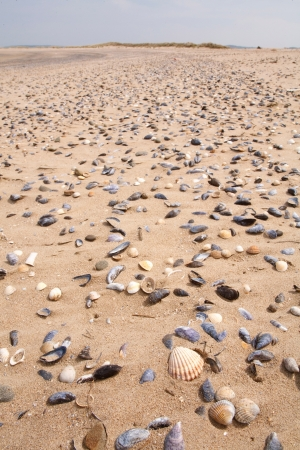 Beach littered with sea shells in the intertidal zone photo
