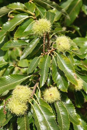 Closeup of sweet chestnuts growing on a tree Stock Photo - 14809633