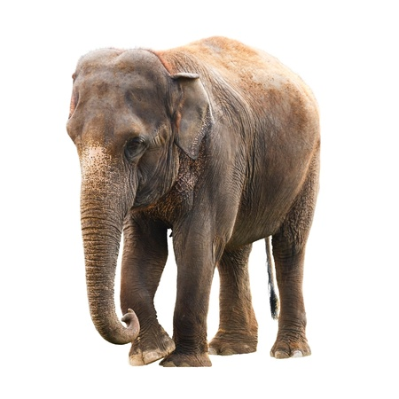 Elephant isolated against a white background with clipping path photo