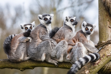 A family of ring-tailed Madagascan lemurs cuddle up in a zoo enclosure 免版税图像