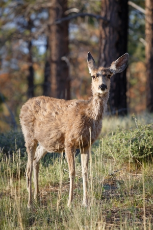 Female wild mule deer Odocoileus hemionus in a woodland setting, Bryce Canyon NP, Utah photo