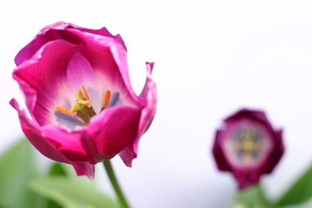 tulipa: Two purple tulips against a white background with green leaves  Focus is on the tulip in the foreground  Stock Photo
