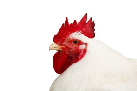 White cockerel isolated on a white background with clipping path photo