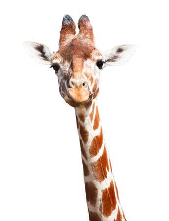 giraffe white background: Giraffe cabeza y cuello aislados sobre un fondo blanco