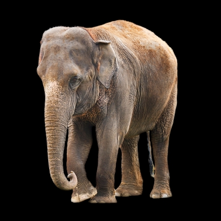 herbivorous animals: Indian elephant isolated against a black background