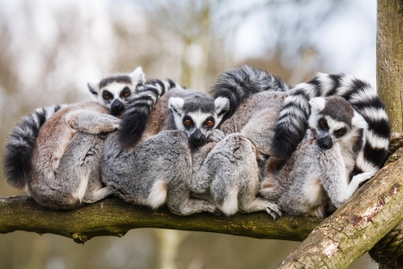 A family of ring-tailed Madagascan lemurs cuddle up in a zoo enclosure