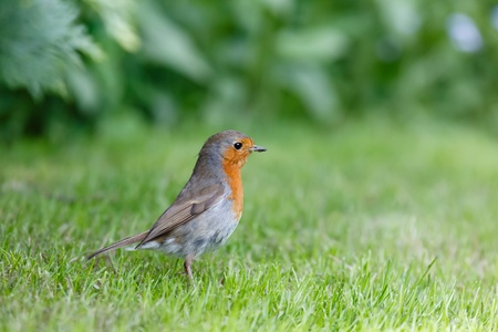 European robin in garden with lots of copyspace photo