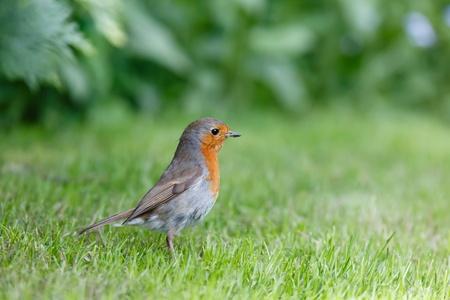 robins: European robin in garden with lots of copyspace