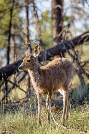 Female wild mule deer Odocoileus hemionus in a woodland setting, Bryce Canyon NP, Utah photo