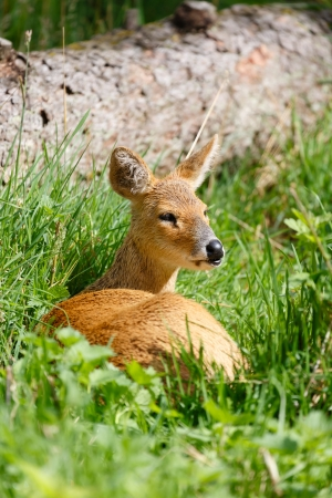 Chinese water deer (Hydropotes inermis inermis) in the wild photo