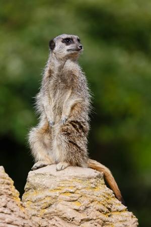sentry: Meerkat (suricata suricatta) sentry stands upright on a rock keeping watch Stock Photo