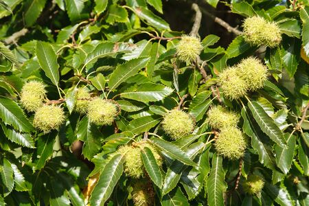 tree nuts: Closeup of sweet chestnuts growing on a tree
