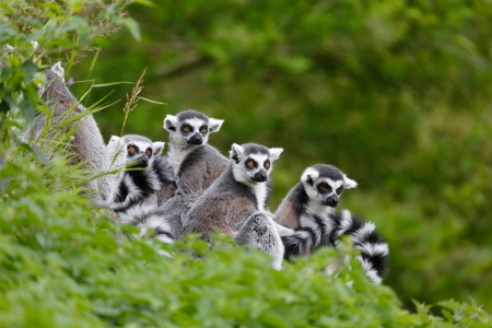 Group of lemurs sit together in natural habitat