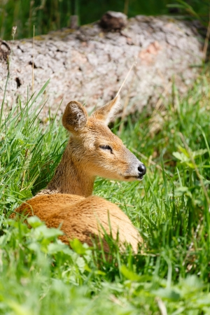 Chinese water deer (Hydropotes inermis inermis) sits in grass in a nature park Stock Photo - 15821610