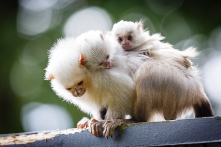 Baby silvery marmosets hold onto the back of an adult photo