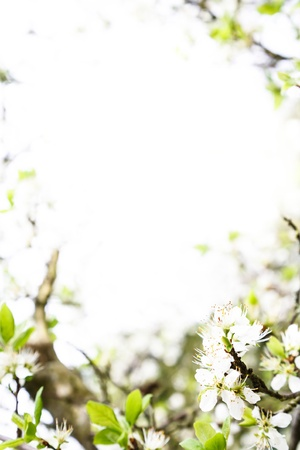dicot: Apple blossom tree with lots of copy space ideal for a template or border