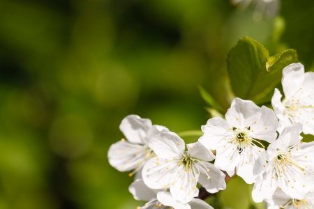 Apple blossom tree close up with green out of focus background lots of space for text photo