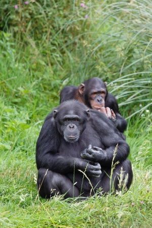 Two chimps or chimpanzees sitting in green grass. One chimp looking directly into the camera