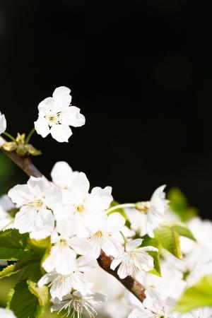 dicot: Dettaglio di fiori di albero di mele con tanto di sfondo scuro ideale per lo spazio di copia