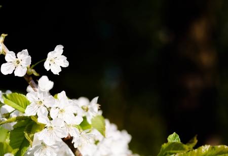 dicot: Apple blossom albero vicino con un sacco di spazio per il testo ideale per un modello o un bordo