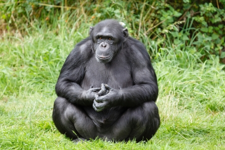 Portrait of a chimp or chimpanzee sitting photo