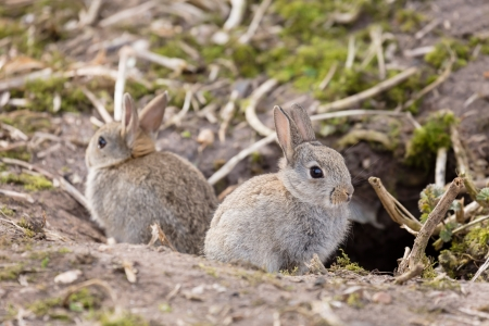 Two baby wild European rabbits sit outside their burrow at a rabbit warren in the UK