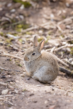 Young wild common rabbit Oryctolagus cuniculus sits in the open at a rabbit warren in England Stock Photo - 21494546