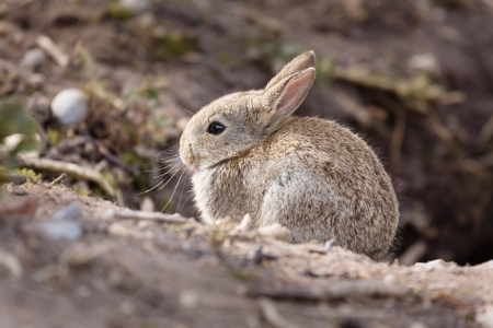 Wild baby european rabbit Oryctolagus cuniculus outside a burrow of a rabbit warren