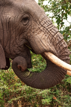 africana: An elephant eats from a tree in Ngorongoro Crater,Tanzania. Stock Photo