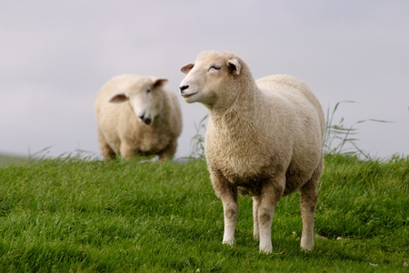 ovine: Two sheep graze in a field in Sussex, England