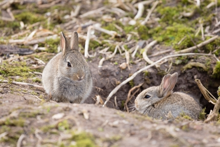 baby rabbit: Two baby wild European rabbits sit outside their burrow at a rabbit warren in the UK