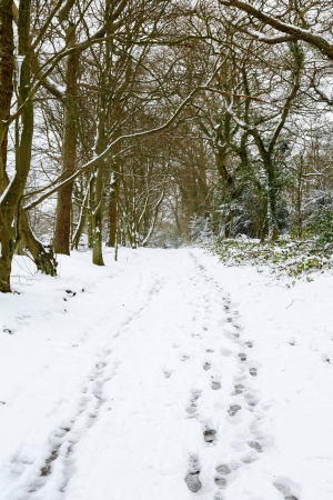 Trees in wood in England in winter with snow and footprints on ground photo