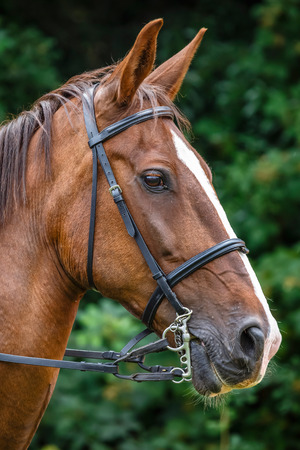stood up: Side view portrait of brown horse with reins