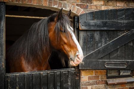 Ciemno brązowy koń patrząc stajni