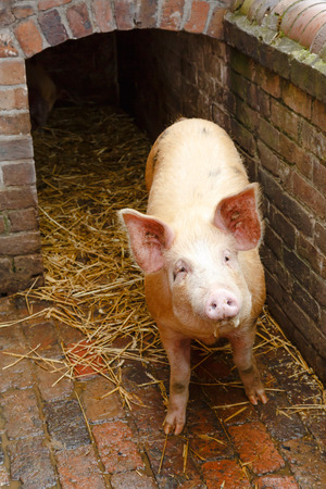 front view: Pig in a traditional brick built pig sty