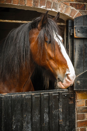 shire horse: Close up of horses head in stable