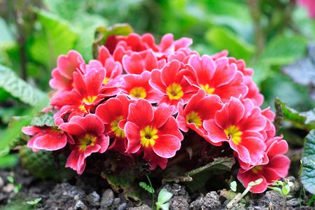 primulas: Primroses in a flower bed.
