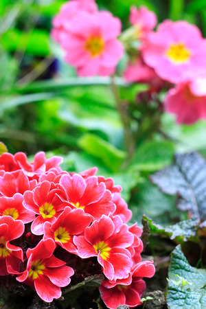 polyanthus: Primroses in a flower bed.