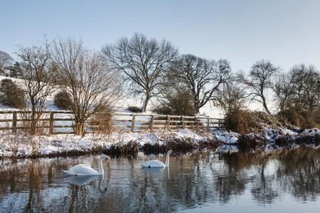 snowscene: Swans on a river in winter, Sarratt, UK Stock Photo